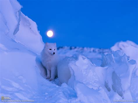 wallpapers fox the best high quality wallpapers best arctic fox wallpapers high quality download free