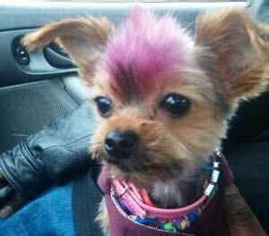 mohawk style for yorkie 190 best images about yorkie hairdo on pinterest