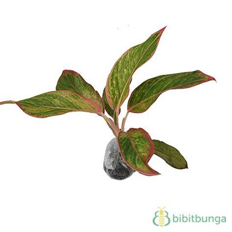 Tanaman Aglaonema Heng Heng Aglonema Hengheng tanaman aglaonema manee lompek bibitbunga