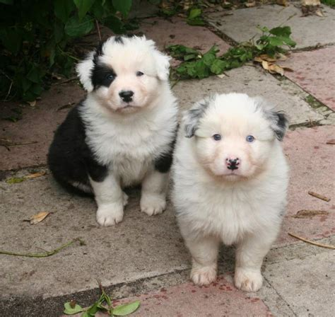 australian shepherd puppies wisconsin australian shepherd puppies for offer in nassau paradise island fiwiclassifieds