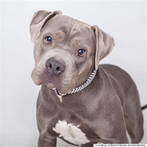chagne pitbull puppies boy with asperger s kisses his for time after adopting loving rescue pit