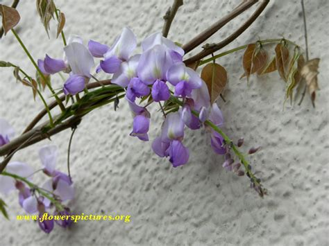wisteria meaning wisteria flower pictures