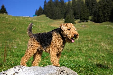 photos of lakeland terriors hair styles welsh terrier dog breed 187 everything about welsh terrier