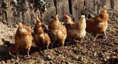 how to raise chickens in your backyard how to raise backyard chickens farm and dairy