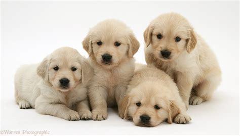 golden retriever puppy shoo dogs four golden retriever puppies in a row photo wp21507