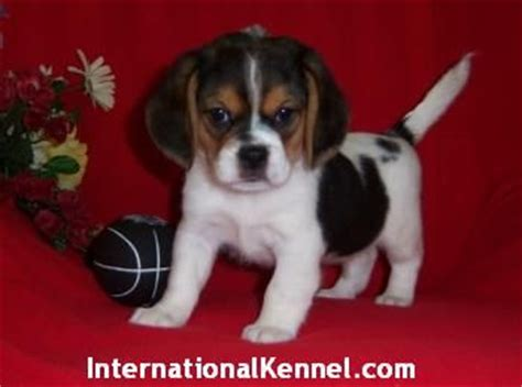 peagle puppies for sale peekle peagle puppies for sale for sale adoption from east meadow new york nassau