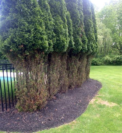 deer resistant evergreens garrett churchill