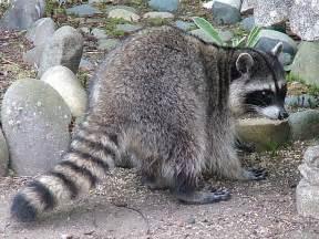 Northern raccoon willapa u s fish and wildlife service