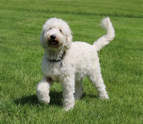 doodle acres ontario puppy mill what is a goldendoodle is it right for me breeds picture