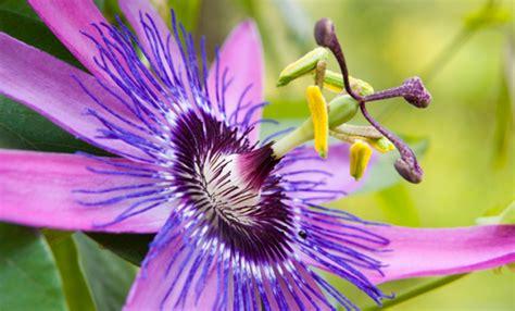 fiori di passiflora come coltivare la passiflora tutti i segreti per avere