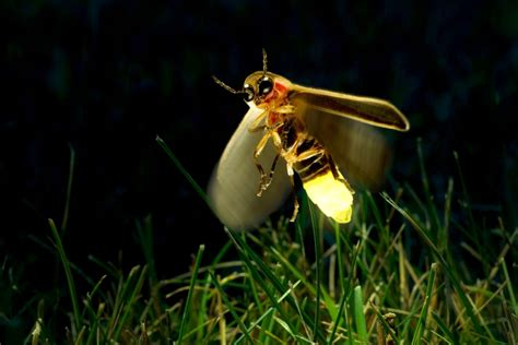 Malam Glowing glow in the animal facts dk find out