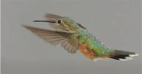 video how high does a hummingbird fly ehow uk