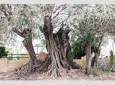 Η «Ελιά της Όρσας»: Ένα δέντρο 2500 ετών στη Σαλαμίνα ... Lifo Gr