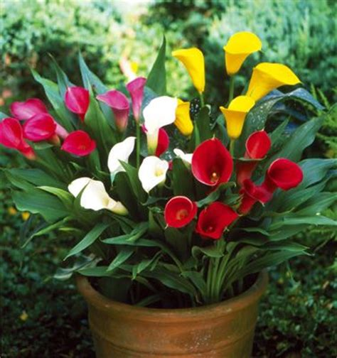 168 best calla lily images on pinterest calla lilies