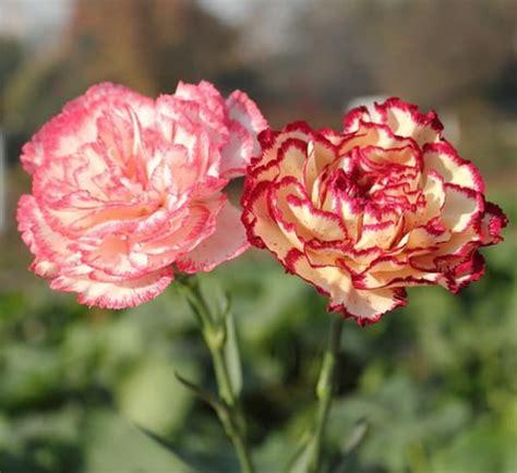 Bibit Bunga Anyelir kumpulan nama bunga lengkap dari a z beserta gambar dan penjelasannya bibit