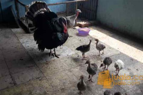 Bibit Ayam Kalkun Di Jakarta ayam kalkun jakarta selatan jualo