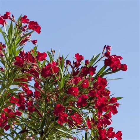 mediterranean flowering shrubs nerium oleander hardy oleander