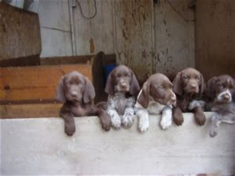 german shorthaired pointer puppies for sale in mn german shorthaired pointer puppies for sale