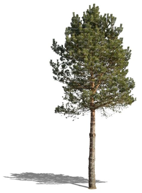 How To Make A Pine Tree Out Of Paper - cut out medium size pine tree cut out trees and plants
