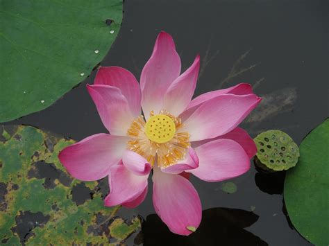 what is lotus blossom free photo lotus blossom flower free image on pixabay