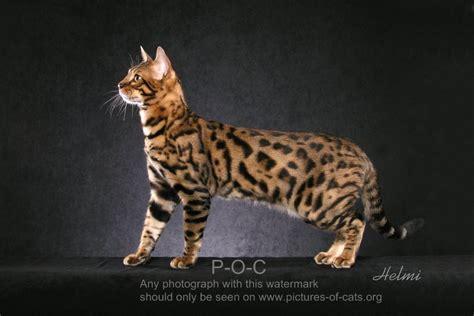 bengal house cat bengal cat momo