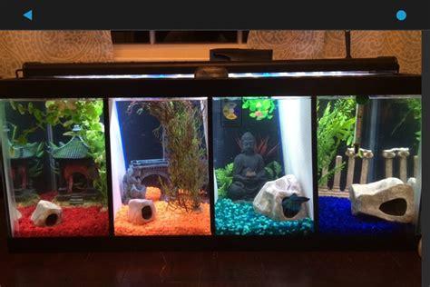 show   split betta tanks aquariums