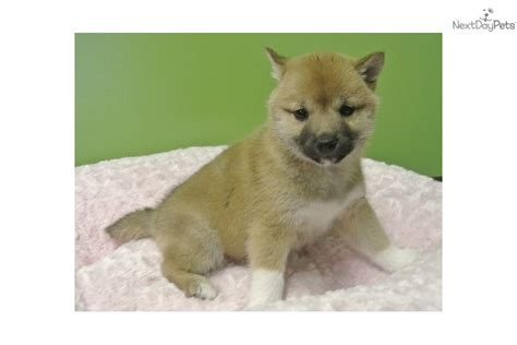 shiba inu puppies for sale in florida shiba inu puppies jacksonville florida breeds picture