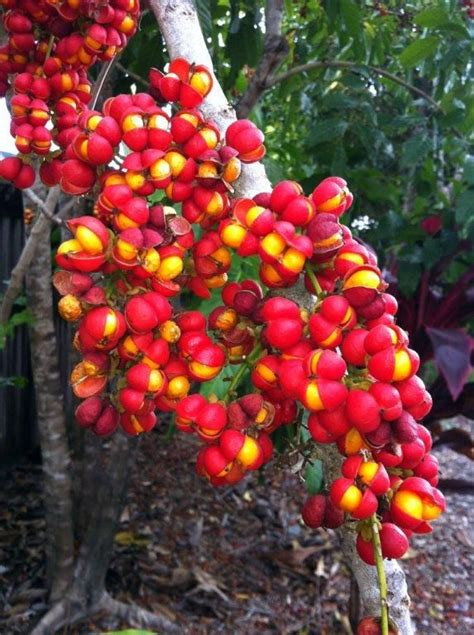 tropical fruit trees australia 1003 best seeds pods leaves trees flowers fruit