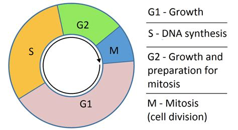 g1 phase diagram g1 and g2 what happens in the growth phases of the cell cycle