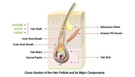 cross section of hair follicle parts of hair hairskinbody soul