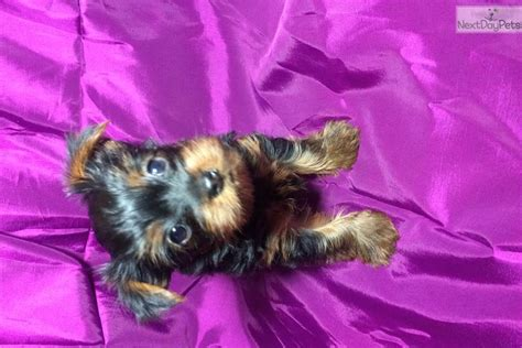 yorkie puppies ct teacup yorkie puppies for sale in hartford ct metastock trading range