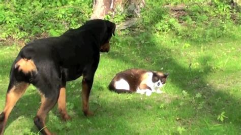 rottweiler and cats cat vs rottweiler new