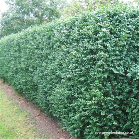 best evergreen hedge box hedging buxus sempervirens garden hedging plant