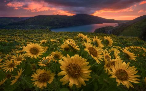 perfect sun flowers river dusk wallpapers perfect sun