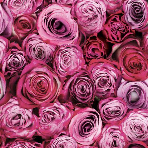 graham brown fresco pink roses wallpaper departments