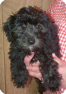 teacup yorkie poodle mix yorkie terrierpoodle or tea cup mix for sale in breeds picture