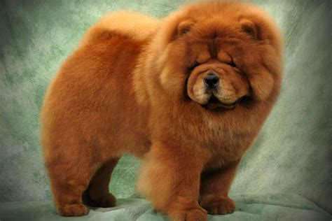 puppy chow chow chow puppies for sale bazar