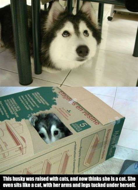 Huskie Meme - husky puppy meme pictures to pin on pinterest pinsdaddy