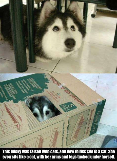 Funny Husky Meme - funny husky memes bing images