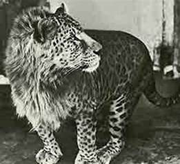 Jaguar Mixed With Panthera Hybrid History