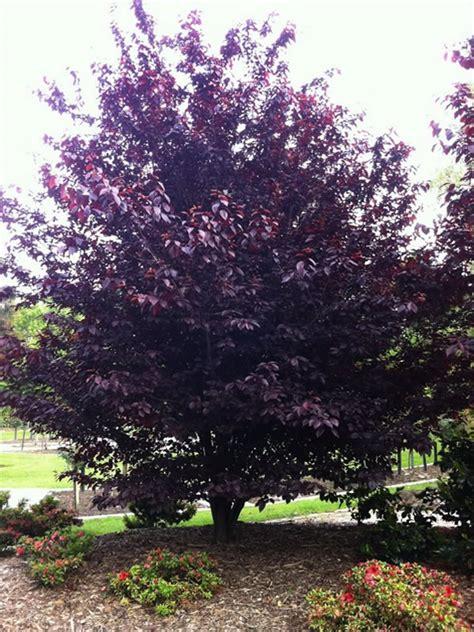 prunus cerasifera nigra purple leaf plum sun trees