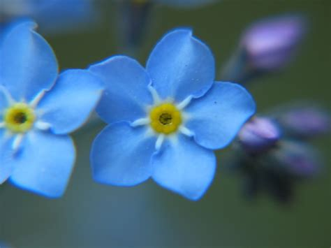 forget me not flowers quotes quotesgram