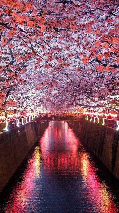 wallpaper sakura spring  nature