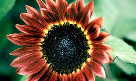 Benih Bibit Seeds Flower Lemon Sunflower Bunga Matahari Muda jual benih seeds bibit flower bunga matahari velvet