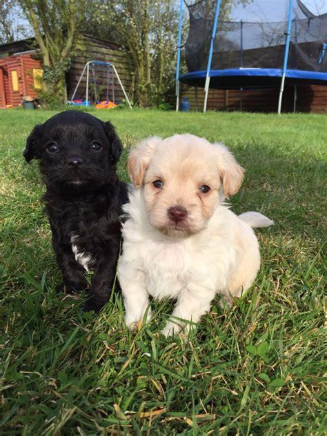 poo puppies for sale chi poo puppies for sale braintree essex pets4homes