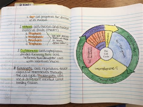 the cell cycle coloring worksheet answers worksheets for
