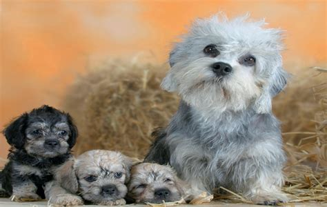 puppy dandie dinmont terrier puppy for your birthday порода собак денди динмонт терьер вид и окрас собак и
