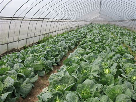 andhra govt offers  subsidy  greenhouse farming