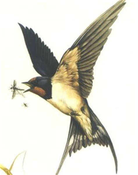 zwaluwen info de boerenzwaluw hirundo rustica