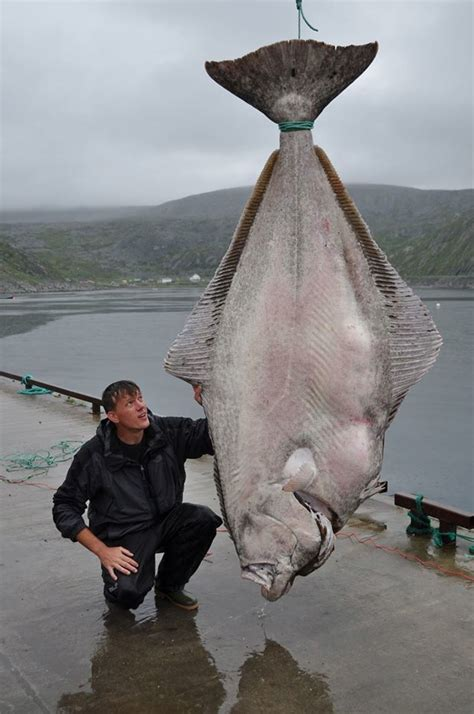 515 pound halibut caught by marco leibenow near norway may